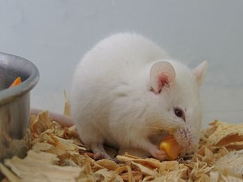 Albino Mouse eating a piece of corn