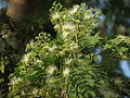 Albizia odoratissima flower 01.JPG