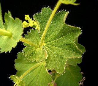 Stipule -    Fused together and leaf-like stipules of Alchemilla mollis