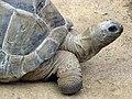 Aldabra.giant.tortoise.arp.jpg