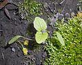 Alliaria petiolata 2017-04-20 8299.jpg