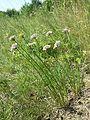 Allium lusitanicum sl3.jpg