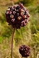 Allium melananthum02.jpg