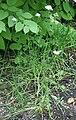 Allium ramosum 03.jpg