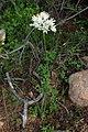 Allium roseum kz04 Morocco.jpg