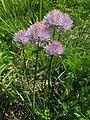 Allium schoenoprasum var. foliosum 1.JPG