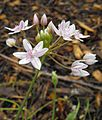 Alliumhyalinum.jpg