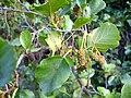Alnus glutinosa femaleFlowers2 2009September25 SierraMadrona.jpg