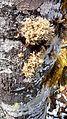 Alnus rubra (Red alder) with Sphaerophorus tuckermanii ball lichen - Flickr - brewbooks.jpg