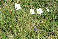 Alpine flora - grass of Parnassus (Gru) (37879406591).jpg