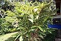 Alpinia zerumbet 28zz.jpg