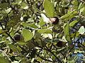 Alta Garrotxa-Quercus ilex.JPG