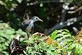 Amaurornis phoenicurus (3) - Siau Island.jpg