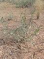 Ambrosia acanthicarpa kz09.jpg