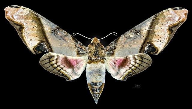 Sưu tập Bộ cánh vẩy 2 - Page 4 640px-Amplypterus_panopus_MHNT_CUT_2010_0_299_Taiping%2C_Perak%2C_Malaysia%2C_female_dorsal