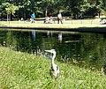An alert heron in Regents Park - geograph.org.uk - 1370454.jpg