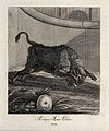An aurochs charging in an enclosure. Etching by J. E. Riding Wellcome V0021073ER.jpg