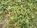 Anagallis arvensis rood guichelheil DSCF2038.JPG