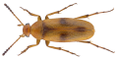 Anaspis maculata (Geoffroy in Fourcroy, 1785).png