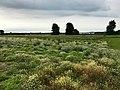 Anbau von Wildkräutern an der Schlei.jpg