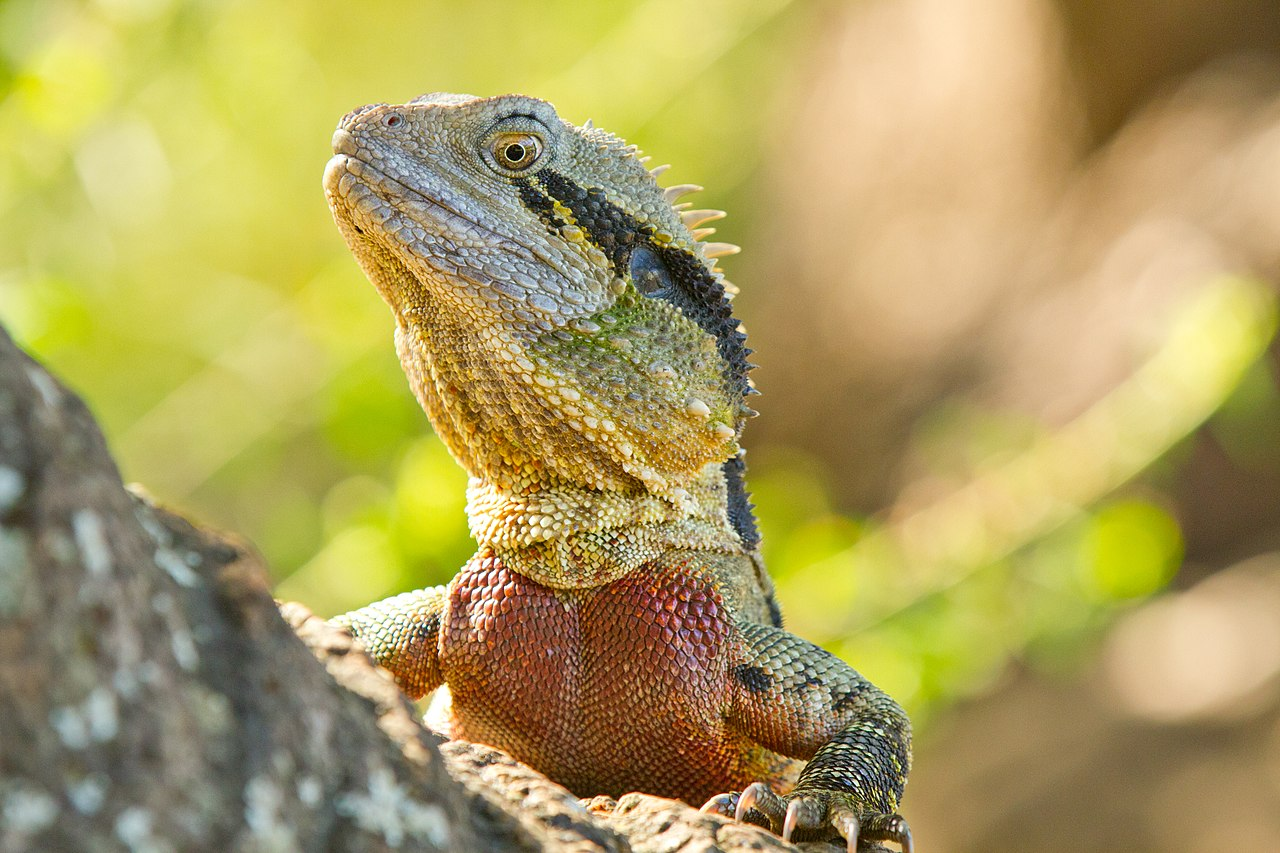 Australian Water Dragon: File:AndrewMercerIMG 5618 Australian Water Dragon.jpg