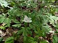 Anemone nemorosa (4655400388).jpg