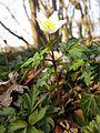 Anemone nemorosa sl2.jpg