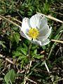 Anemone sylvestris sl11.jpg