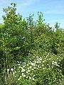 Anemone sylvestris sl19.jpg