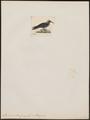 Anous melanogenys - 1820-1860 - Print - Iconographia Zoologica - Special Collections University of Amsterdam - UBA01 IZ17900408.tif