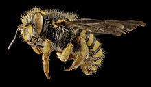 Anthidium oblongatum, Gynandromorph, Side, PA, Adams County 2014-11-24-15.42.27 ZS PMax (15685252898).jpg