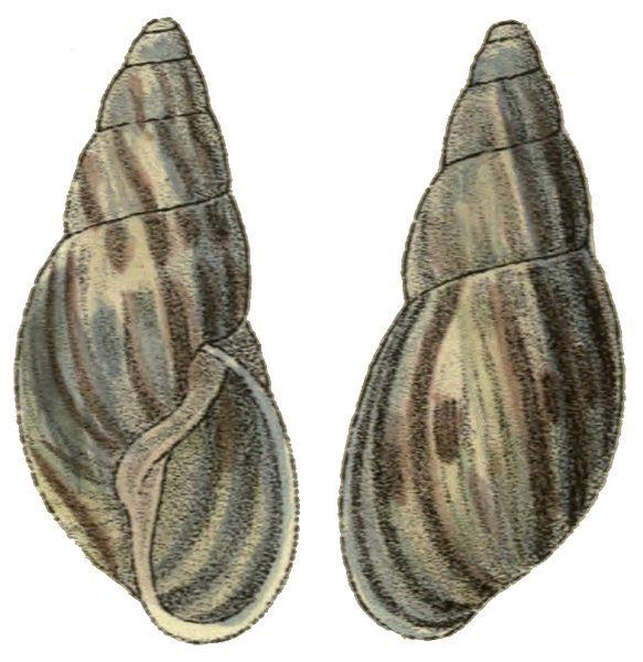 Ficheiro:Anthinus henselii shell.jpg