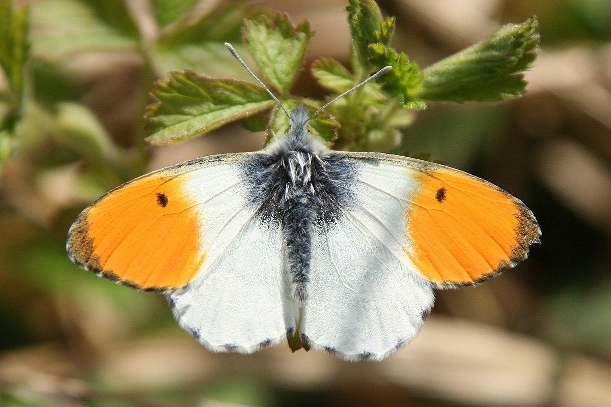 Aurore papillon wikip dia - Papillon fleur ...