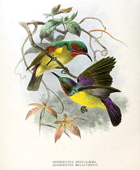 Description de l'image Anthreptes rhodolaemus, malacensis Keulemans .jpg.