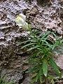 Antirrhinum siculum Ghajn Tuffieha Malta 31 05 2010 01.jpg