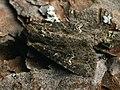 Apamea unanimis - Small clouded brindle - Полевая совка грязно-бурая (26246140867).jpg
