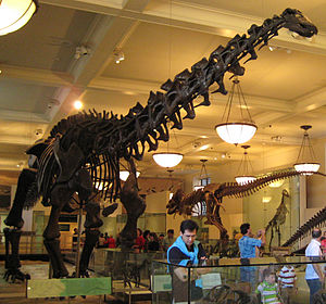 Current Apatosaurus excelsus skeletal mount at the American Museum of Natural History