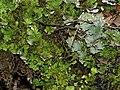 Apfelflechte Peltigera aphtosa OhWeh-002.jpg