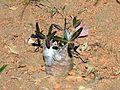 Apocynaceae - Pachypodium rosulatum.jpg