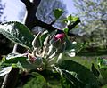 Apple flower and bud.jpg