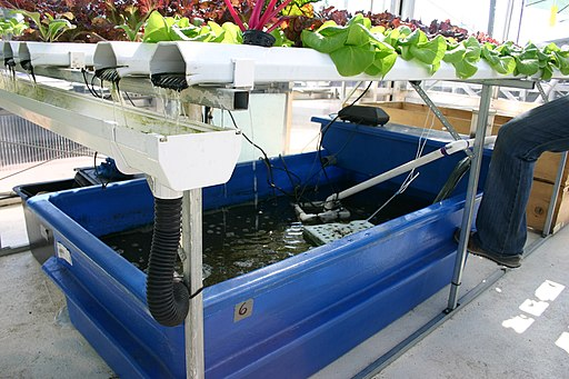 Aquaponics with catfish