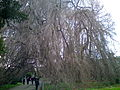 Arboretum-Zuerich-Fagus sylvatica.JPG