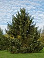 Arboretum spruce - West Lodge Park - Hadley Wood - Enfield London.jpg