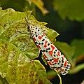 Arctiidae - Utetheisa pulchella.JPG
