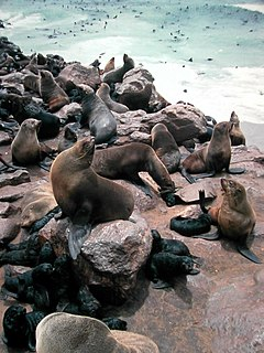 Fur seal subfamily of mammals