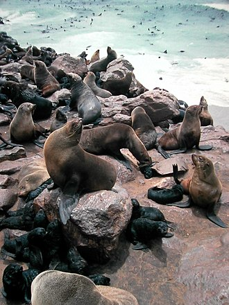 Fur seal - a group of brown fur seals, (Arctocephalus pusillus)