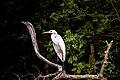 Ardea alba in Ropotamo Nature Reserve, 2014-09-02.jpg