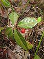 Ardisia japonica 2.JPG