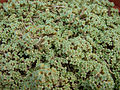 Arenaria tetraquetra var granatensis 2.JPG