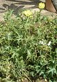 Argemone mexicana BotGardBln07122011B.jpg